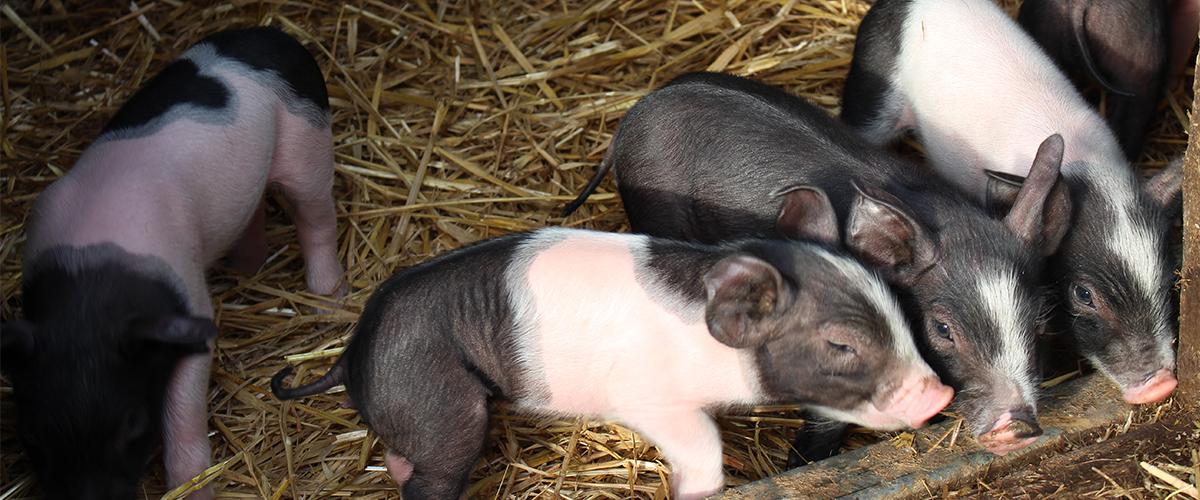schwaebisch-haellische-schweine