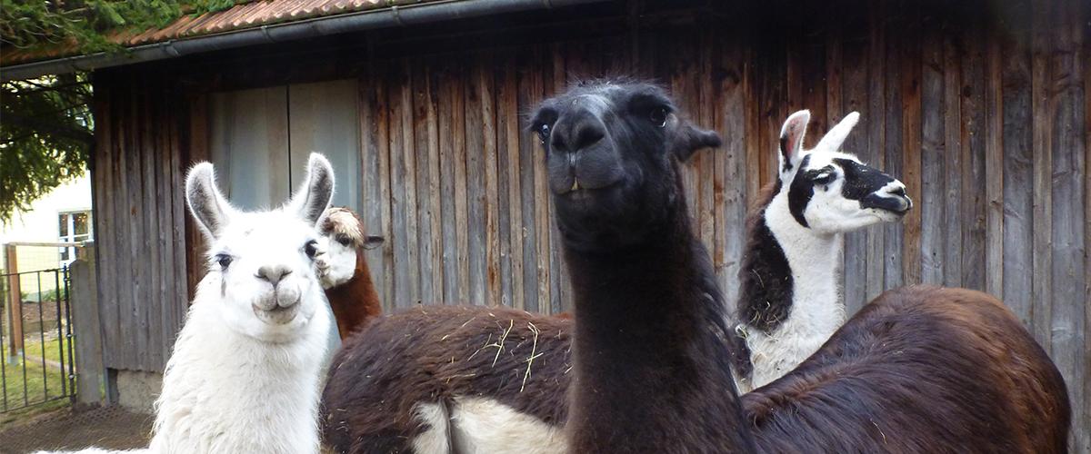 3_Lamas