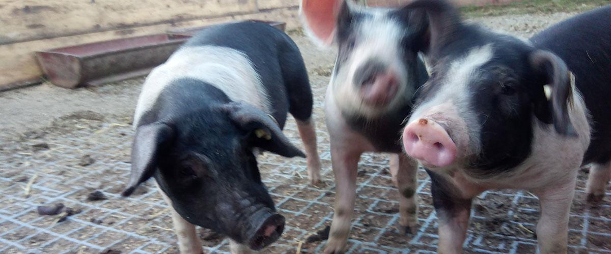 kleine_Schweine