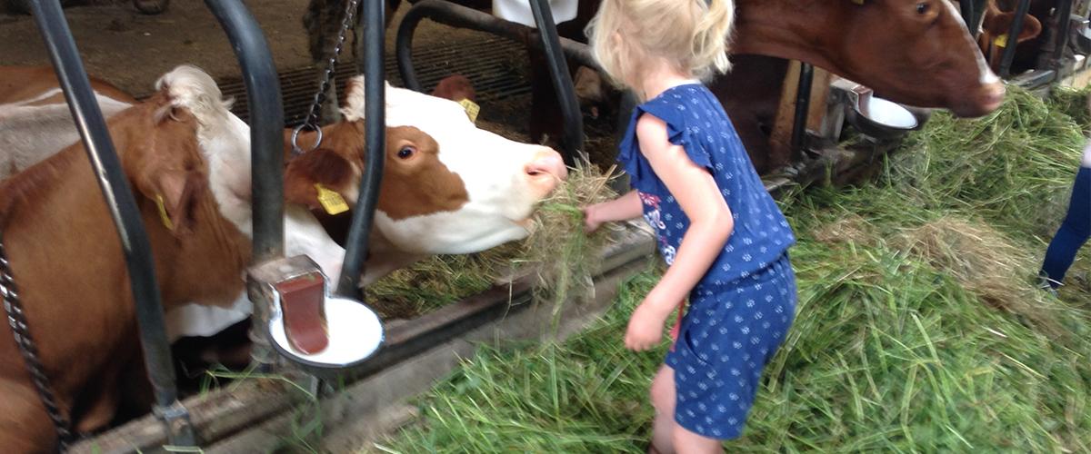 Kühe_füttern